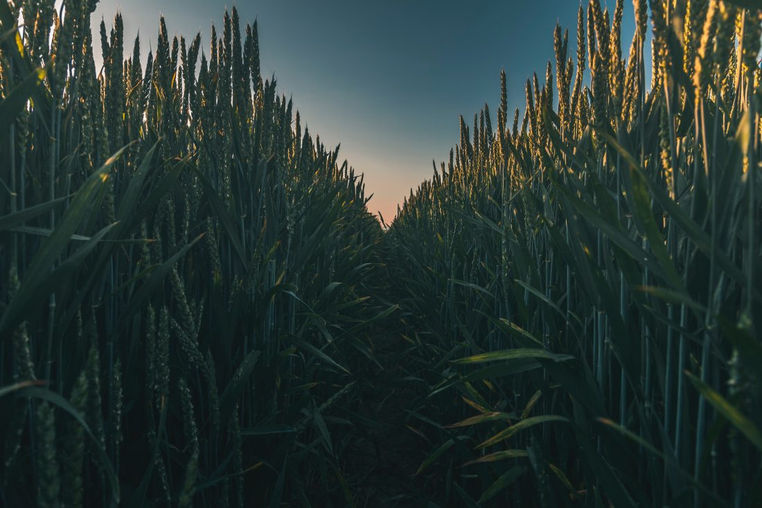 agriculture-close-up-corn-field-1137332